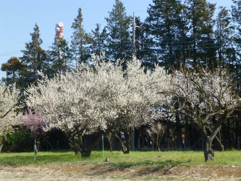 自由に伸び伸びとたくさんの花を咲かせ、馥郁たる香りを漂わせている名もない梅林の梅